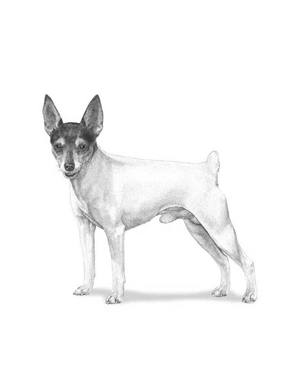 Lost Toy Fox Terrier in Dayton, OH US