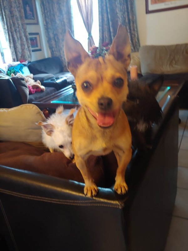 Found Chihuahua in Harbor City, CA US