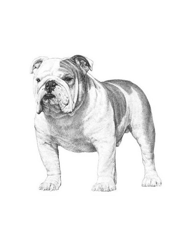 Reunited Lost English Bulldog in Perris, CA US