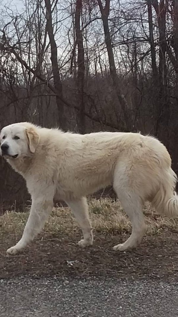 Found Great Pyrenees in East Springfield, OH US