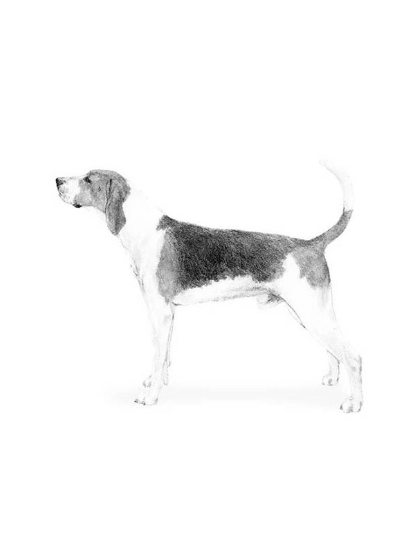 Lost Treeing Walker Coonhound in Linesville, PA US