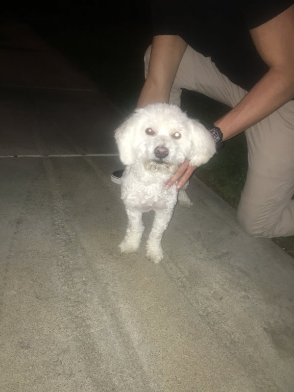 Found Poodle in Canyon Country, CA US