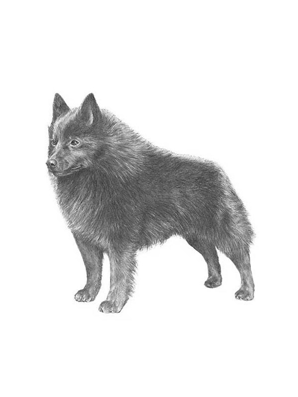 Safe Schipperke in Portland, OR US
