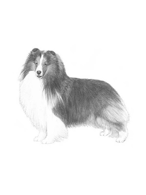 Lost Shetland Sheepdog in Shelton, WA US