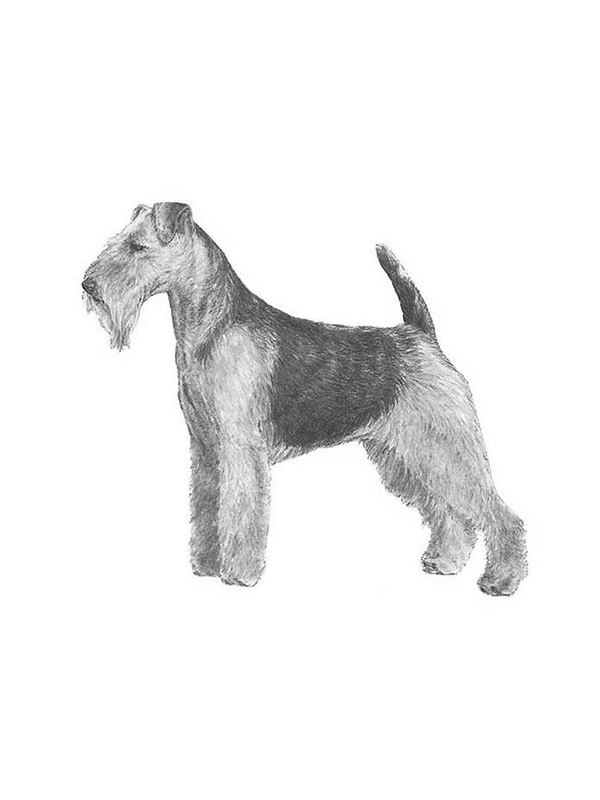 Lost Welsh Terrier in Chesapeake, VA US
