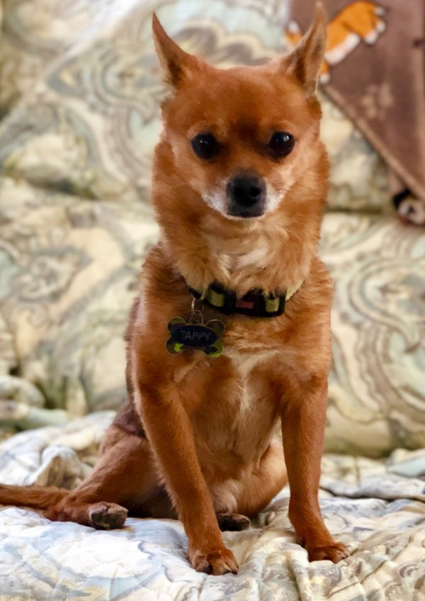 Safe Chihuahua in Las Vegas, NV US