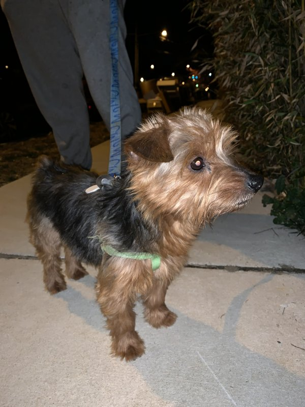 Found Australian Terrier in Hyattsville, MD US