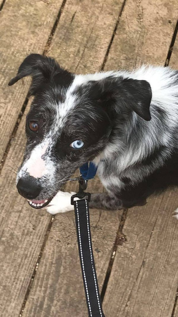 Lost Border Collie in Maysville, NC US