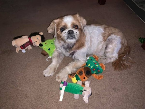 Lost Shih Tzu in Downey, CA US