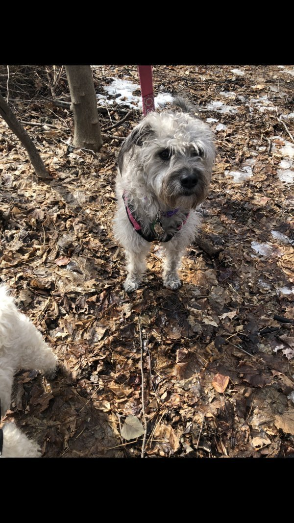 Lost Scottish Terrier in Medford, MA US