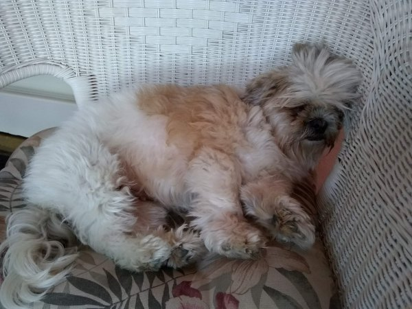 Lost Shih Tzu in Fullerton, CA US