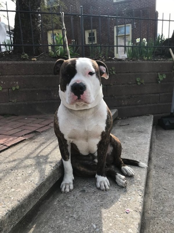 Found Pit Bull in Broomall, PA US