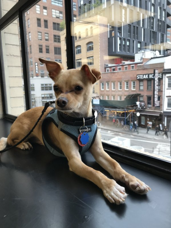 Safe Chihuahua in Briarcliff Manor, NY US