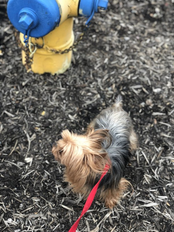 Safe Yorkshire Terrier in Creedmoor, NC US