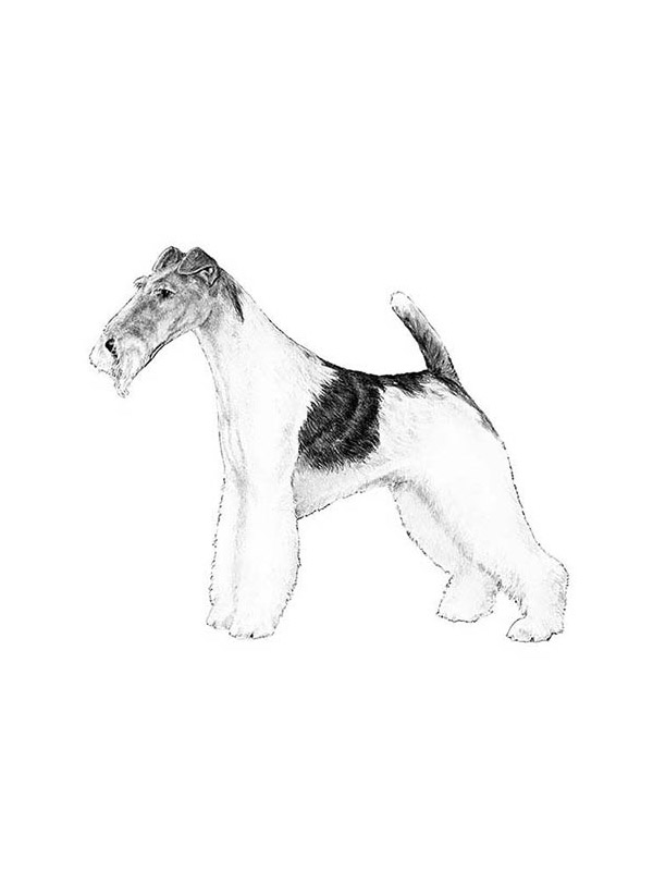 Lost Wire Fox Terrier in Los Angeles, CA US