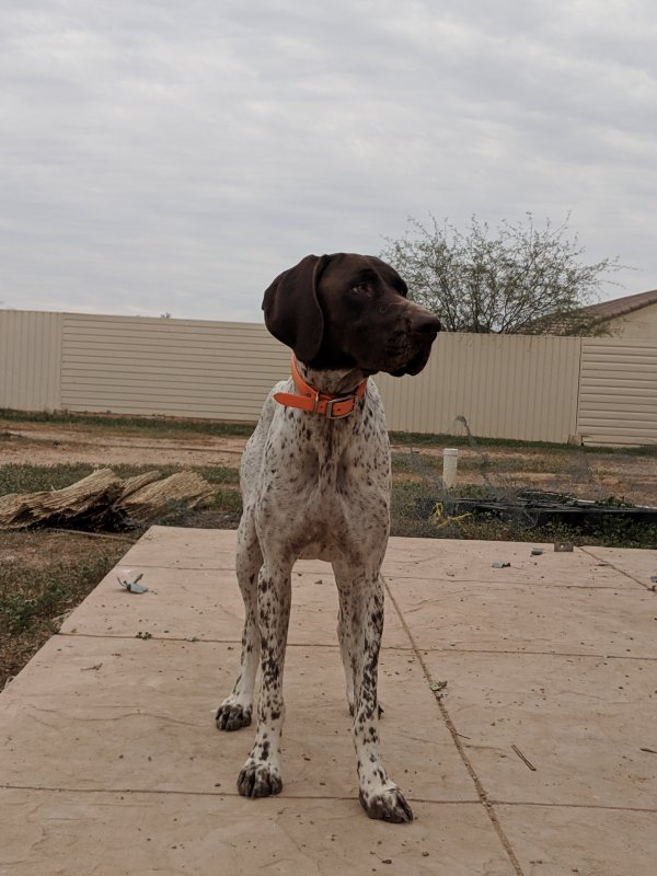 Safe German Shorthaired Pointer in San Tan Valley, AZ US