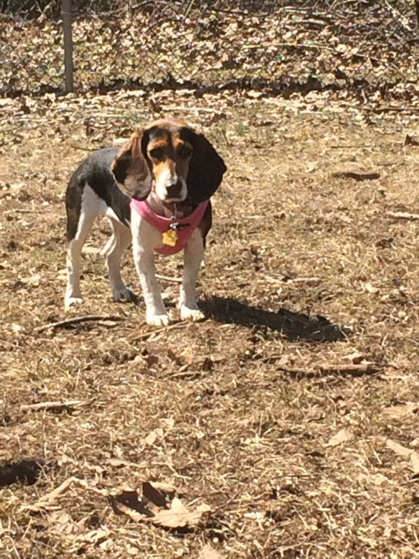 Lost Beagle in New Haven, CT US