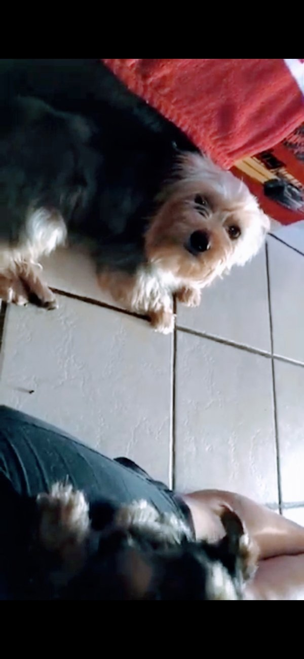 Lost Yorkshire Terrier in Fontana, CA US