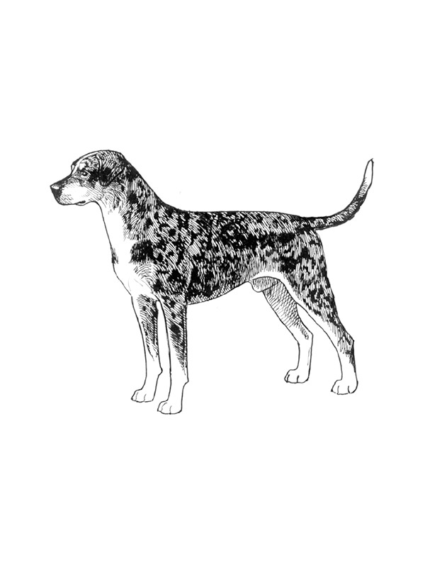 Lost Catahoula Leopard in Barstow, CA US