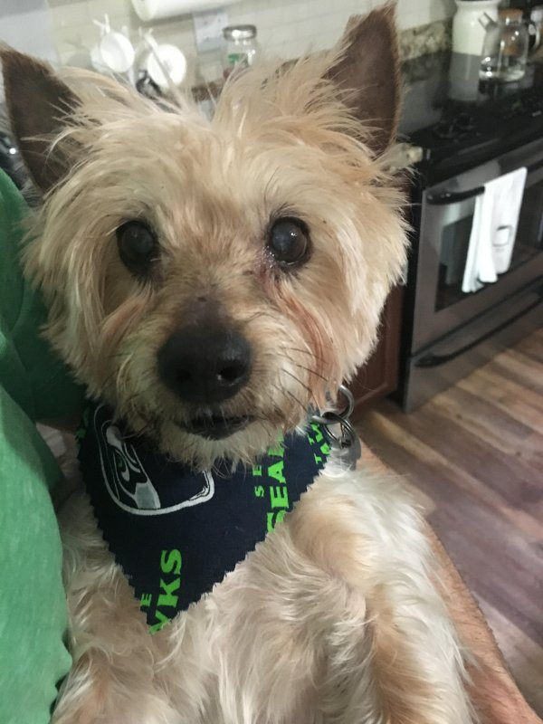 Lost Yorkshire Terrier in Lynnwood, WA US