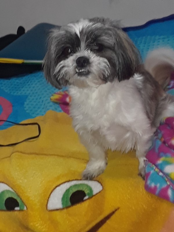 Found Shih Tzu in Camden, NJ US