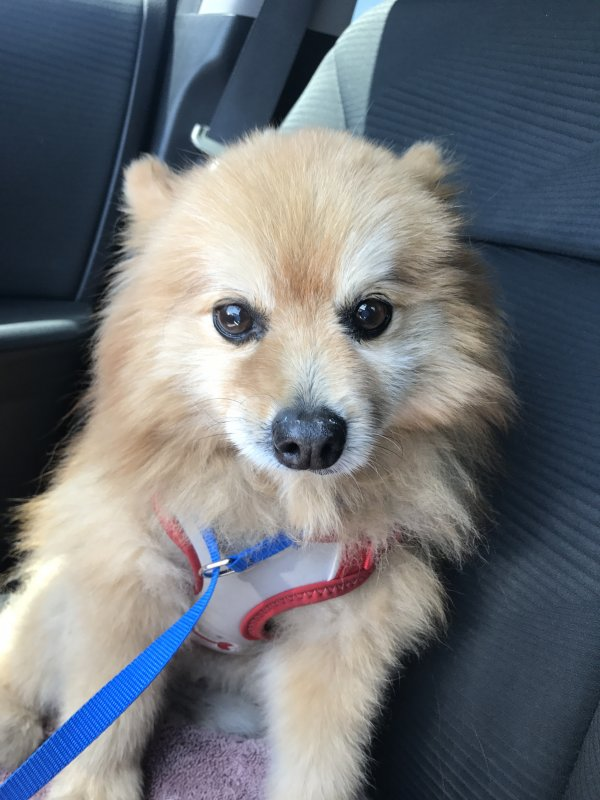 Safe Pomeranian in Anaheim, CA US
