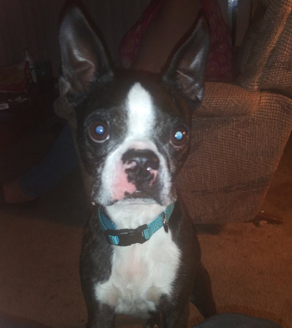 Found Boston Terrier in Dundalk, MD US