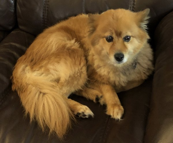 Safe Pomeranian in Paterson, NJ US