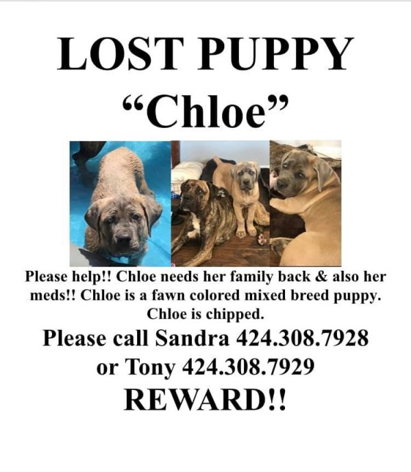 Stolen Mastiff in Wilmington, CA US