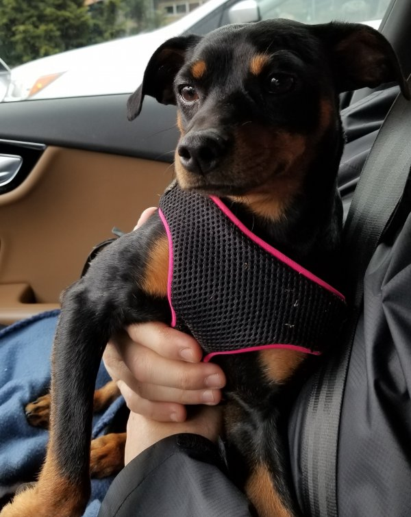 Safe Miniature Pinscher in Puyallup, WA US