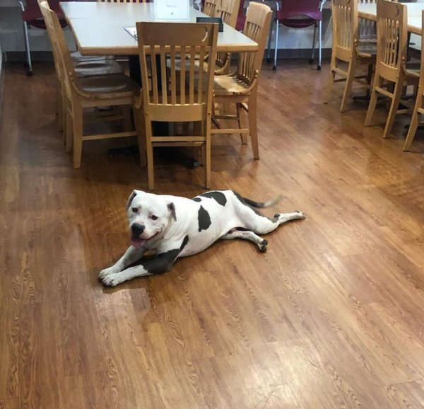 Found American Staffordshire Terrier in Houston, TX US