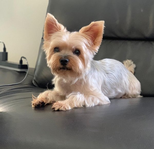 Lost Yorkshire Terrier in Rosemead, CA US