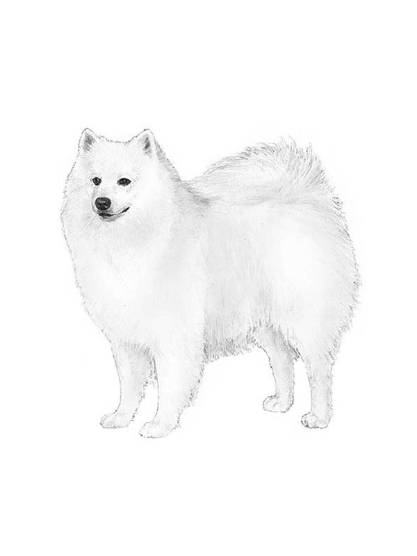 Lost American Eskimo Dog in Spanaway, WA US