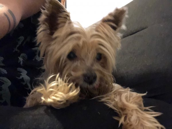 Found Yorkshire Terrier in Miami, FL US