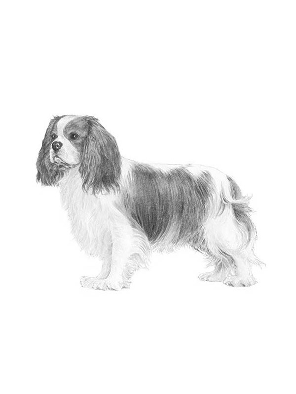 Lost Cavalier King Charles Spaniel in Chatsworth, CA US