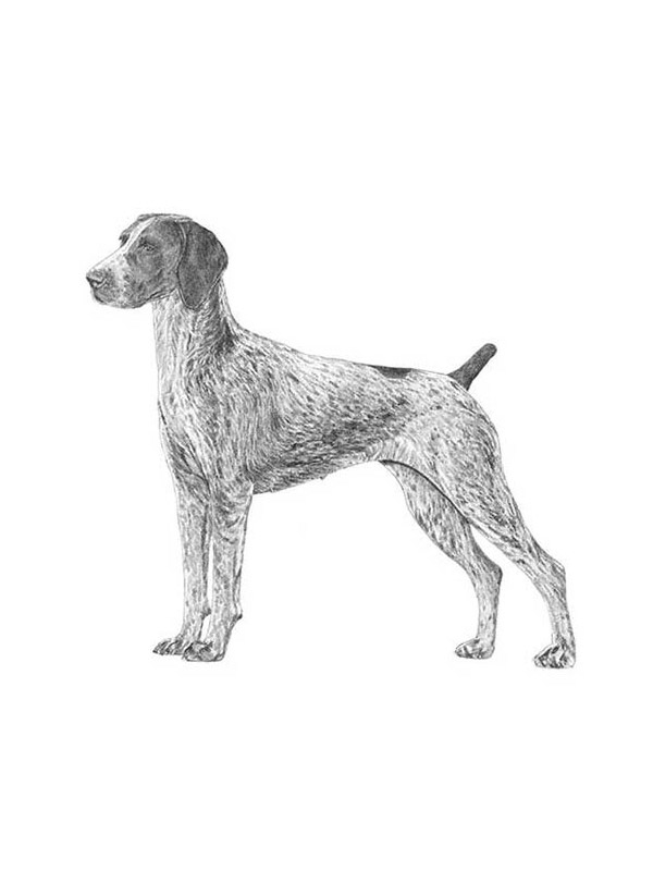 Lost German Shorthaired Pointer in Howell, NJ US