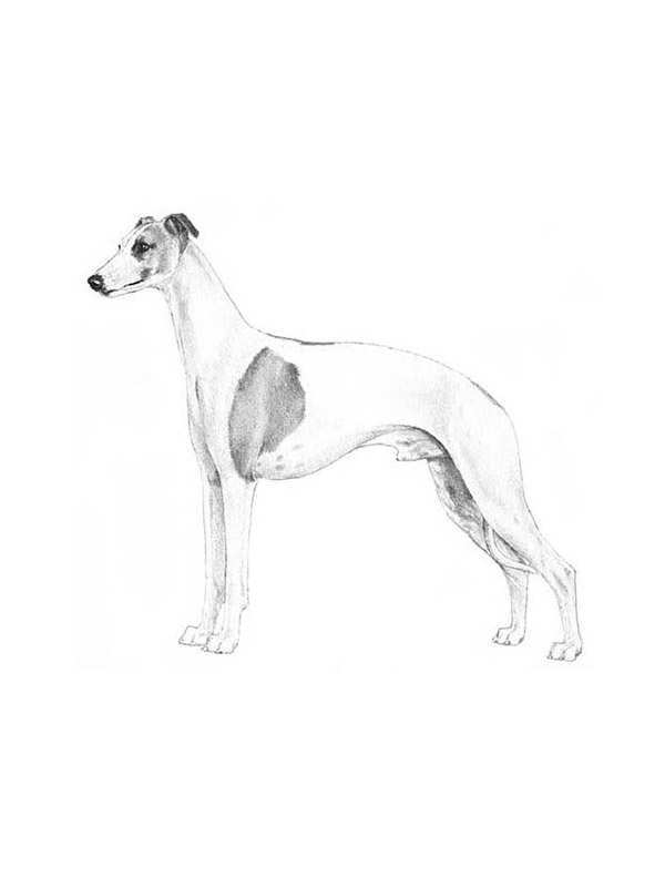 Lost Whippet in Escondido, CA US