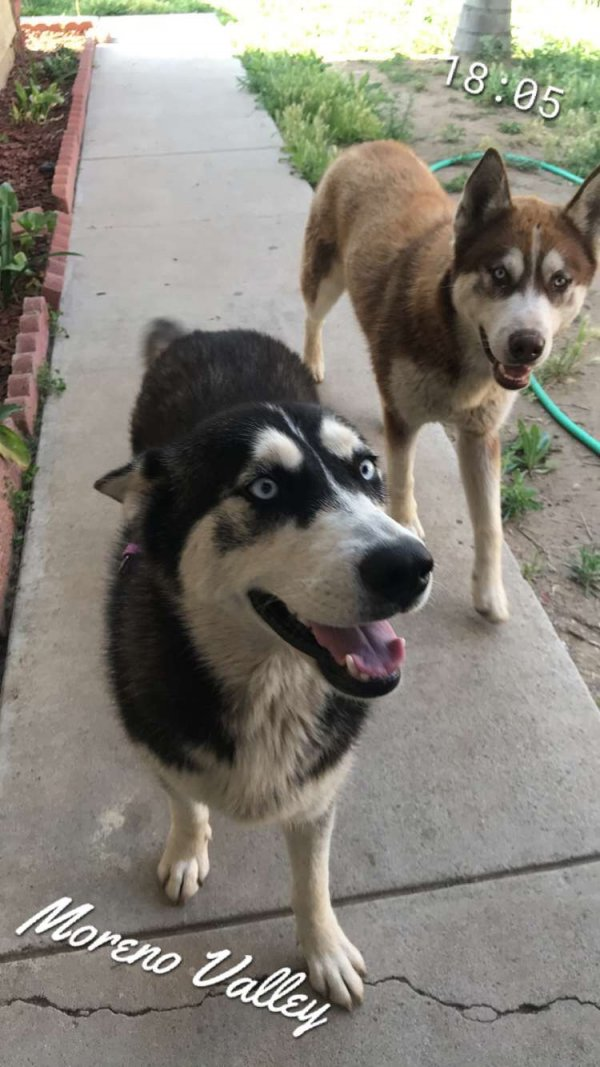 Safe Siberian Husky in Moreno Valley, CA US