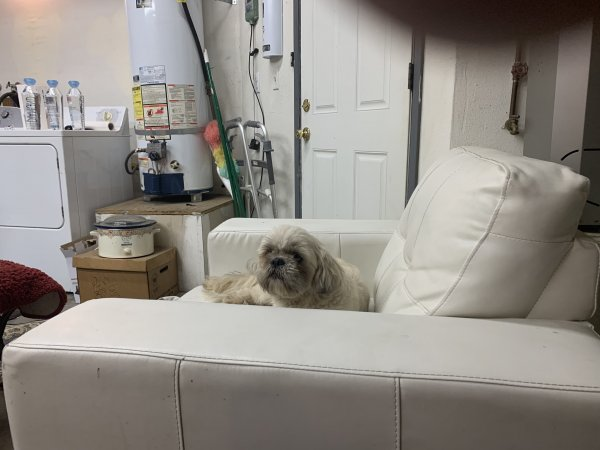 Found Shih Tzu in Colton, CA US