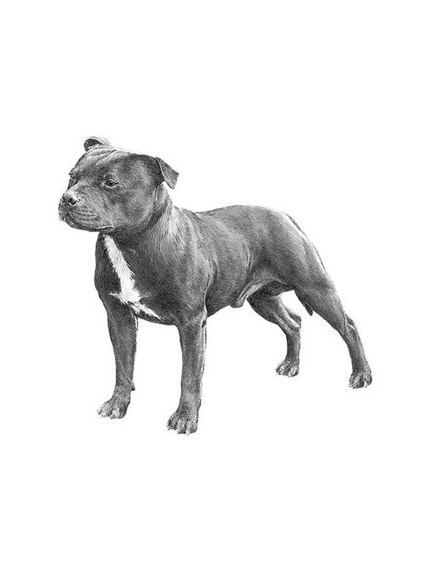 Lost Staffordshire Bull Terrier in Brooklyn, NY US