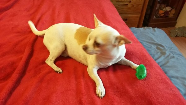 Lost Chihuahua in Glendale, AZ US