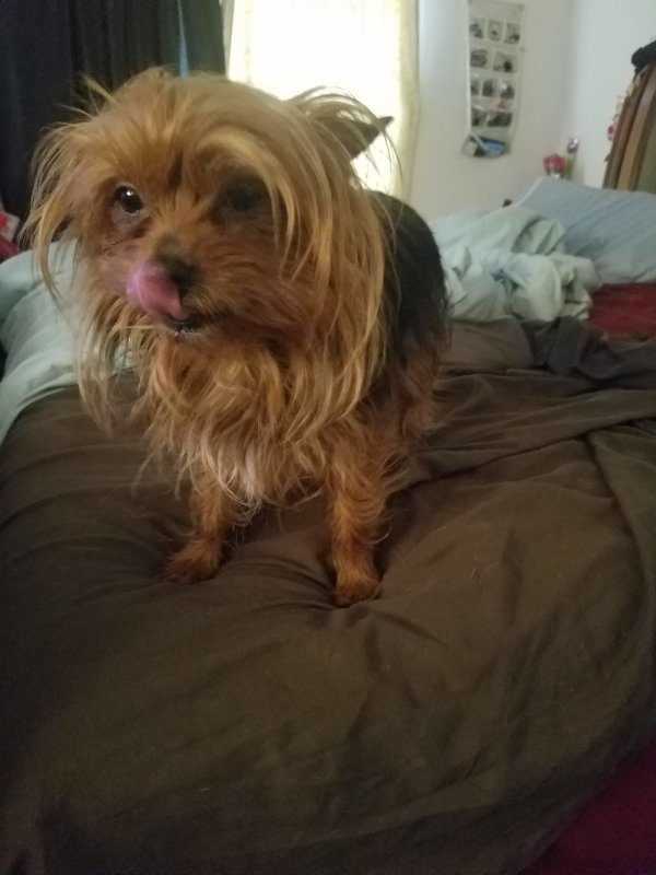 Lost Yorkshire Terrier in Puyallup, WA US