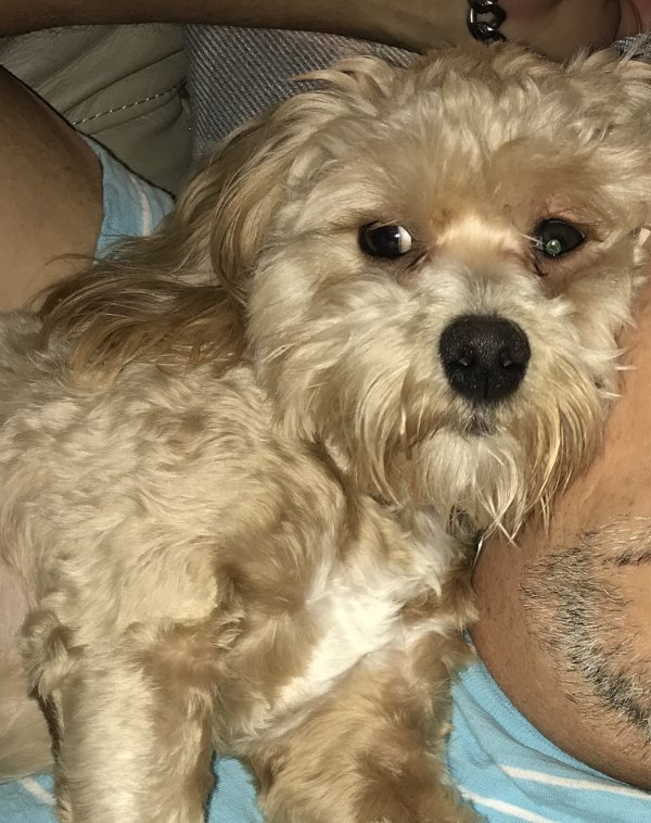 Lost Maltese in Raleigh, NC US