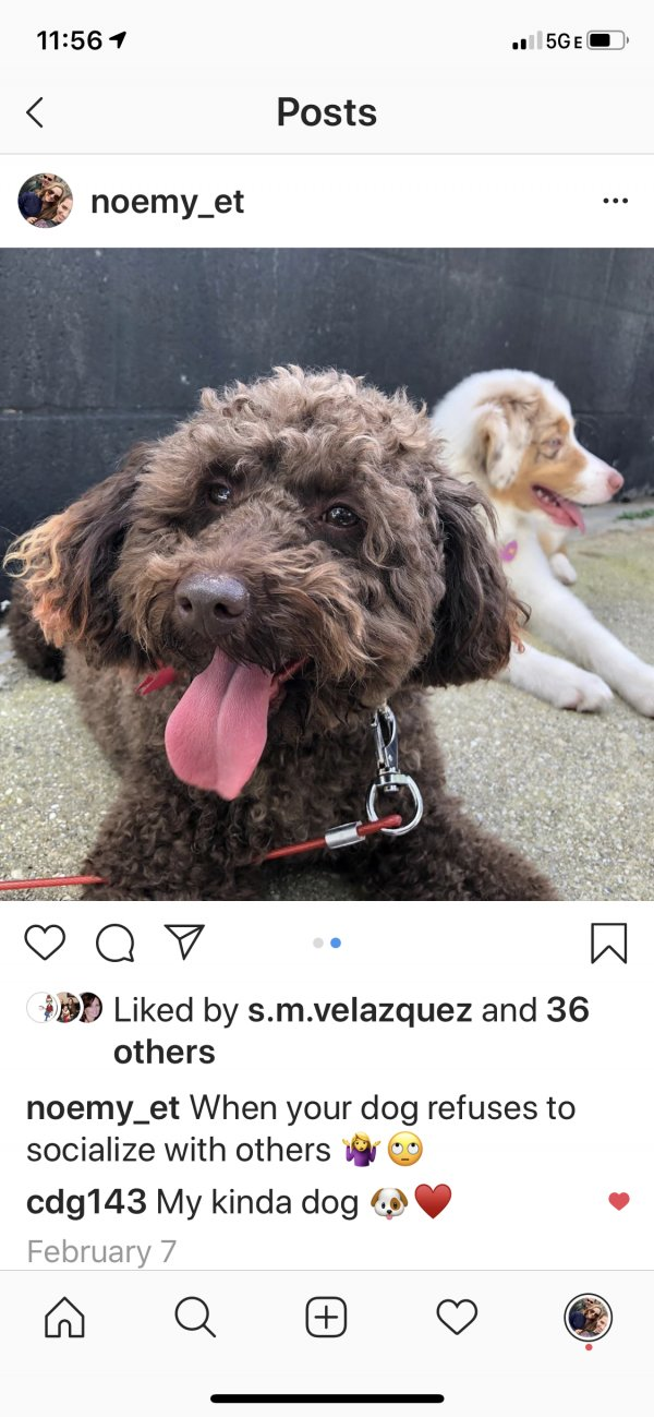 Lost Poodle in Fort Lauderdale, FL US