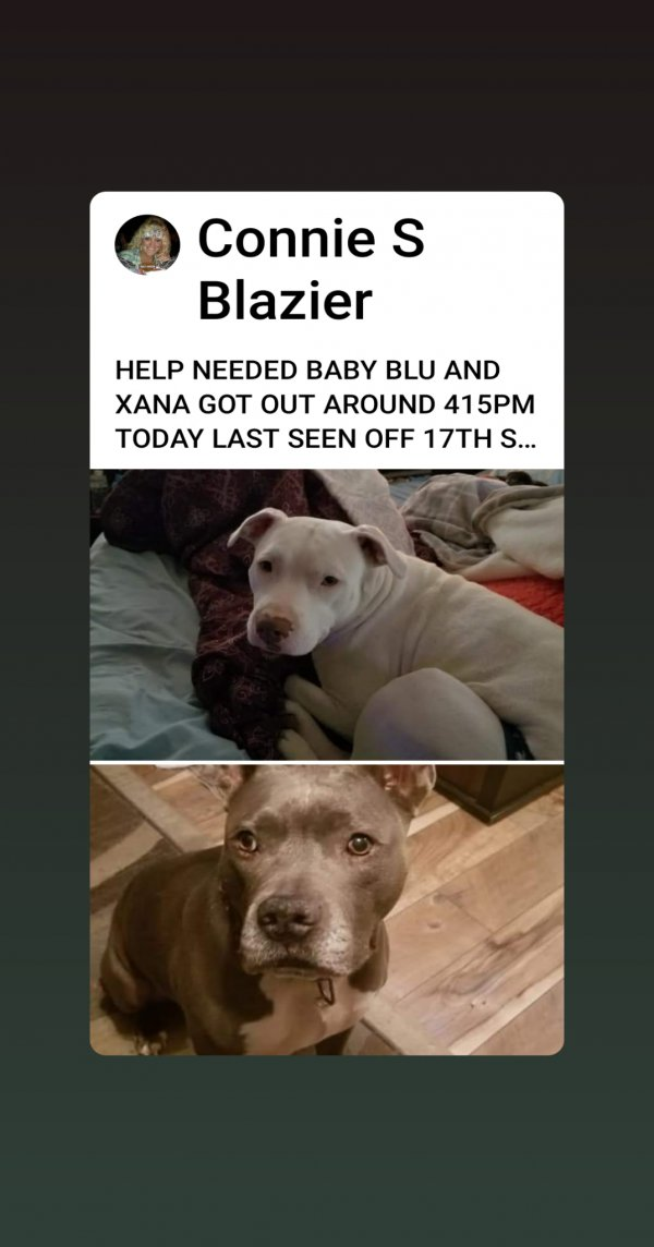Lost Pit Bull in Belleville, IL US