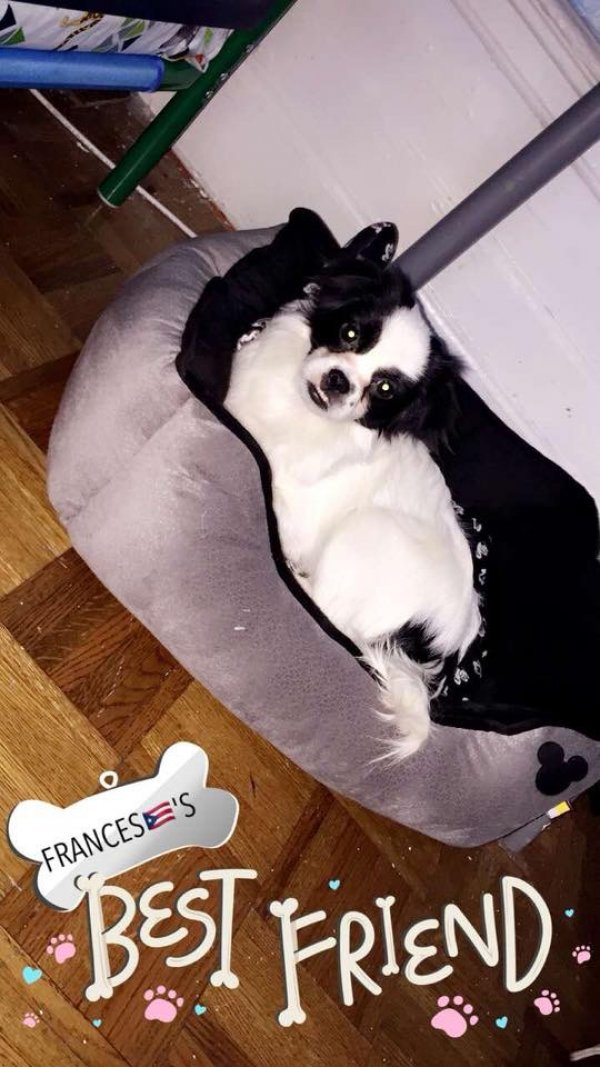 Lost Japanese Chin in Bronx, NY US