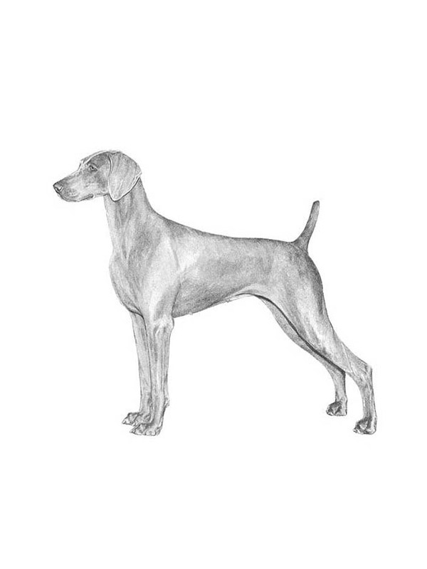 Lost Weimaraner in Keedysville, MD US