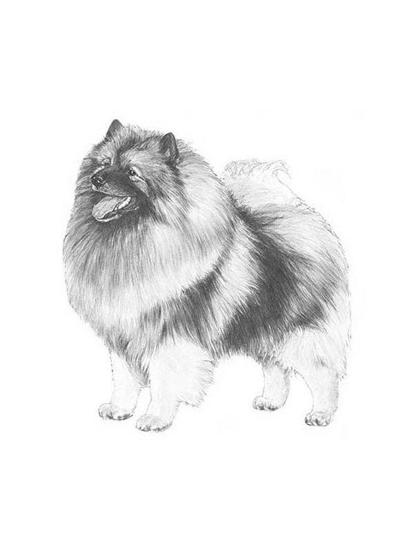 Safe Keeshond in Mansfield, MA US