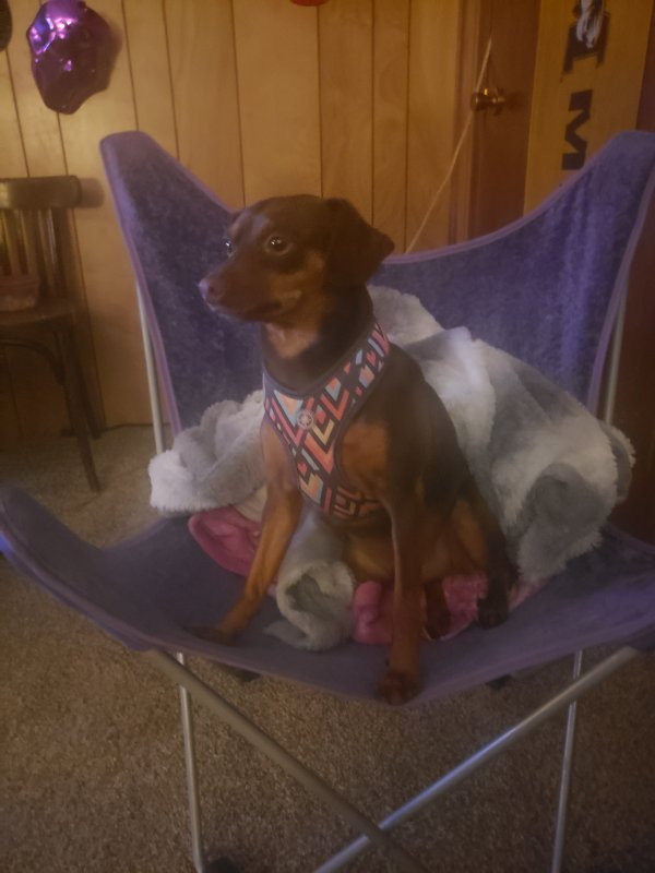 Lost Miniature Pinscher in Sarcoxie, MO US