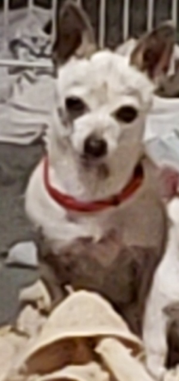 Lost Chihuahua in Lancaster, CA US